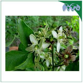 BELI FLOWER